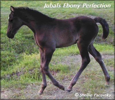 JUBALS EBONY PERFECTION #20003427